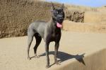 Chimoc Hairless Peruvian Dog. Credit: ISA/ Michael Tweddle